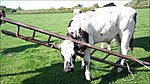 Silly Moo- Captions Please!-_54645279_cowinladder464.jpg