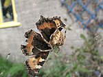 Look kids, the last butterfly of the year-img_1847.jpg