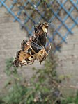 Look kids, the last butterfly of the year-img_1854.jpg