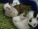 Rabbits-11403722_1.jpg