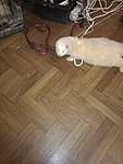 Cabling with Ferrets and other small mammals.-ferret.jpg