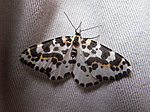 Some insects for you :)-magpie-moth.jpg