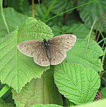 Some insects for you :)-ringlet.jpg
