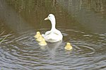Here's a weird one .. Chicks and Ducklings ..-new-arrivals-2013-05.jpg