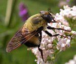 Whats this rather lethal looking insect???-bee-mimic-fly-large.jpg