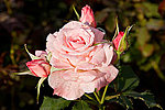 Name the band game...-250px-bridal_pink_-_morwell_rose_garden.jpg